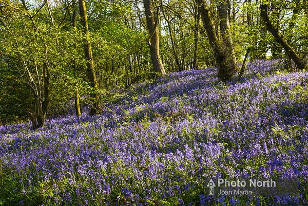 LECK 16A - Bluebells in Springs Wood