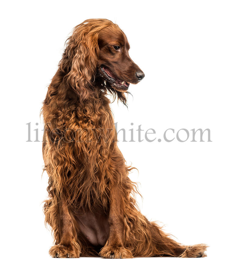 Irish Setter sitting, panting, isolated on white