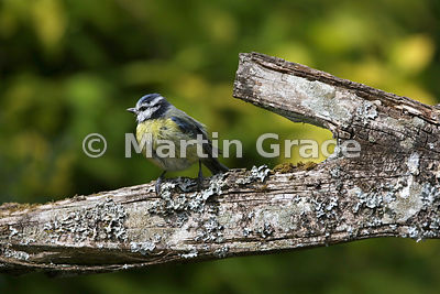 European Blue Tit (Cyanistes caeruleus) standing on the back of a wooden rustic bench, Lake District National Park, Cumbria, ...