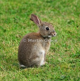 Young European Rabbit (Oryctolagus cuniculus) (Lepus cuniculus) on a garden lawn, Lyth Valley, Lake District National Park, E...