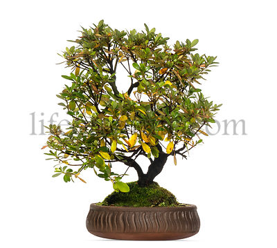 Rhododendron bonsai tree, isolated on white