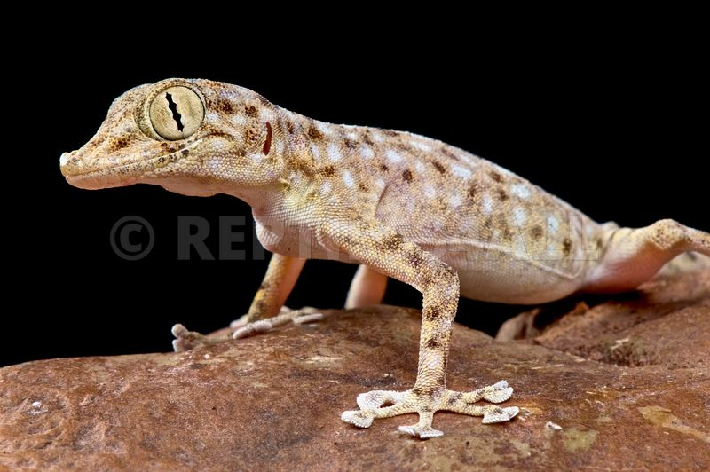 Ptyodactylus hasselquisti, Egyptian fan-footed gecko, Egypt