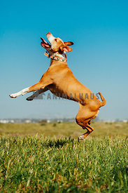 Bully breed dog leaping up in an open field