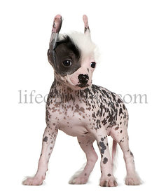 Chinese hairless crested dog, 6 weeks old, standing