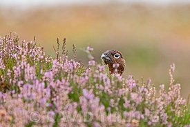 Red Grouse, Lagopus lagopus scotica male amongst flowering heather on Lochindorb grouse moor, Speyside Scotland September