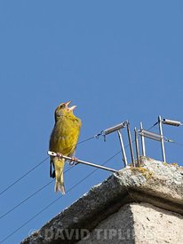 Greenfinch, Chloris chloris, in song on Cromer Church, North Norfolk, spring