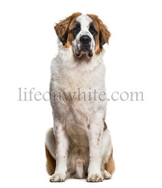 St.Bernard dog sitting and looking at camera against white background