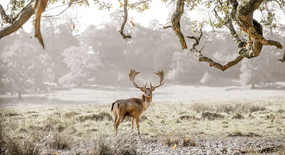 Stag in a field