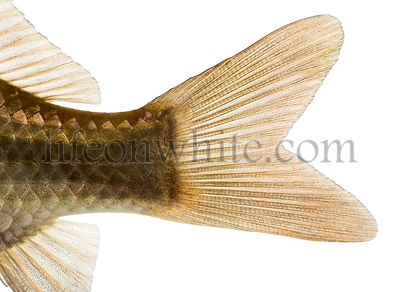 Close-up of a Crucian carp\'s caudal fin, Carassius carassius, isolated on white