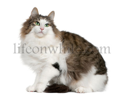 Norwegian Forest Cat, 4 years old, sitting in front of white background