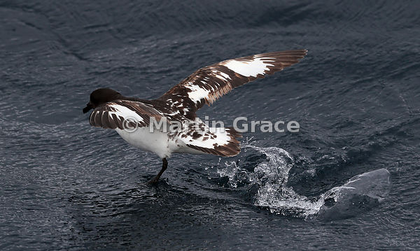 Cape Petrel (Daption capense) taking off from the water, Kaikoura, Canterbury, South Island, New Zealand