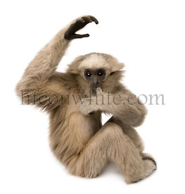 Young Pileated Gibbon, 4 months old, sitting with arm raised in front of white background