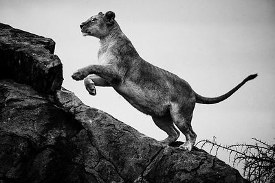 02820-Lioness_jumps_on_a_rock_Laurent_Baheux