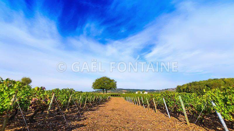 Vineyards_of_Frontenas_and_raod_with_a_blue_sky