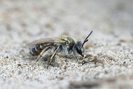 Closeup of a female of one of the smaller mining bees , the red bellied miner or Andrena ventralis
