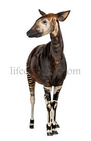 Okapi standing, Okapia johnstoni, isolated on white
