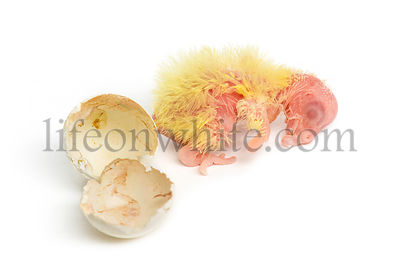 Cockatiel next to the egg from which he hatched out, 1 day old, isolated on white