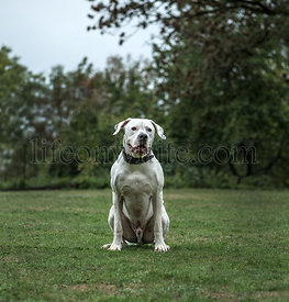 Dogo Argentino, 2 years old, in park