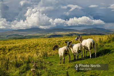 LANGCLIFFE 30A - North of England Mule Sheep enjoying the view