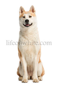 Akita Inu sitting and looking away, 2 years old, isolated on white