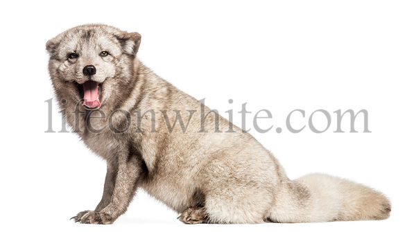 Arctic fox, Vulpes lagopus, also known as the white fox, polar fox or snow fox, sitting, panting, isolated on white
