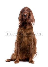 Irish Setter (3 years)