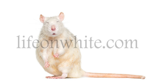Domestic rat with eyes closed against white background