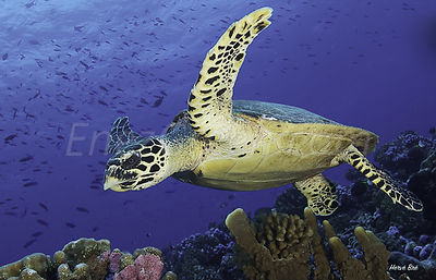 Diving with turtles in Rangiroa