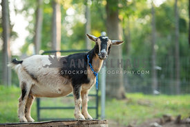nigerian dwarf goat  standing and looking at camera