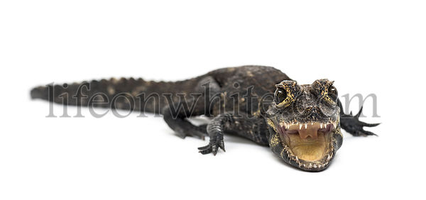 Dwarf crocodile, Osteolaemus tetraspis, also known commonly as the African dwarf crocodile, West African dwarf crocodile, and...