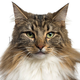 Close-up of a Norwegian Forest Cat, isolated on white