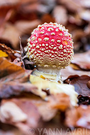 Amanite tue-mouches (Amanita muscaria) en sous-bois. France, Moselle, Vosges du Nord ∞ Fly Agaric (Amanita muscaria) mushrooms
