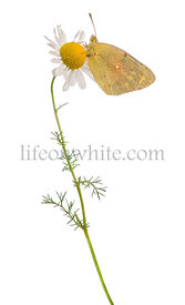Side view of a Clouded Sulphur landed on a daisy, Colias philodice, isolated on white