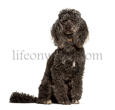 Poodle dog sitting against white background