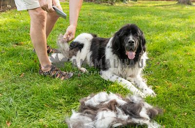 A newfoundland dog getting brushed by his owner