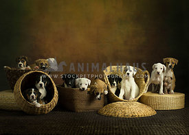 a litter of 13 puppies in different woven baskets on woven brown rug with painted background in studio