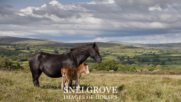 Dartmoor Mare & Foal - Sherberton Common