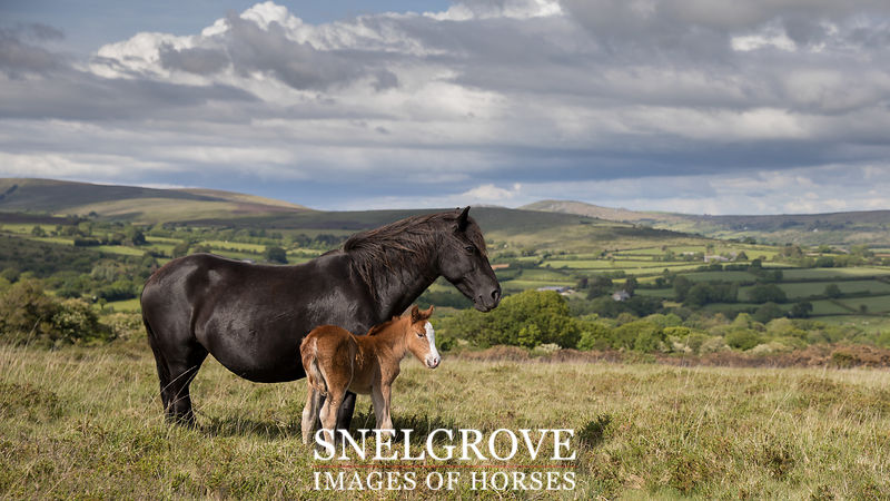 Greeting Cards Dartmoor Images of Horses