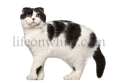 Scottish Fold, 6 months old, standing against white background