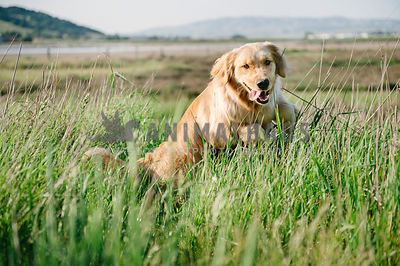 A golden retriever running through a field of tall green grasses