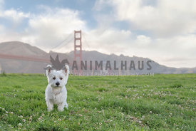 westie in front of Golden Gate Bridge on partly cloudy day