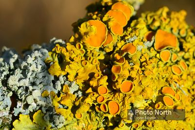 LICHEN 20B - Golden shield lichen
