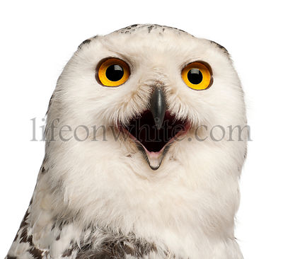Female Snowy Owl, Bubo scandiacus, 1 year old, portrait and close up against white background