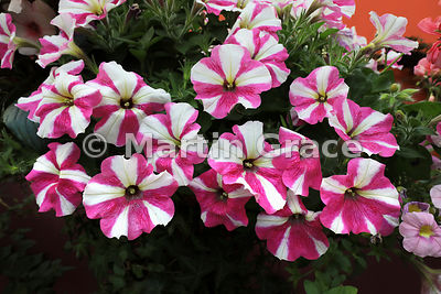 Petunias (Petunia sp), Flower Dome, Gardens By The Bay, Singapore, Southeast Asia