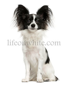 Papillon sitting in front of a white background