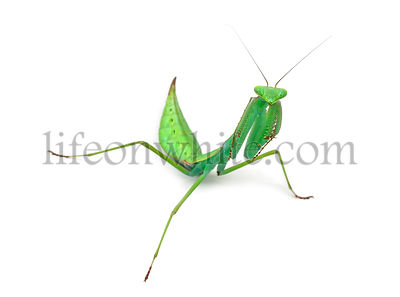 Male praying mantis - Macromantis sp, isolated on white
