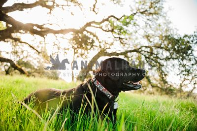 A black lab laying in the grass on the edge of a forest