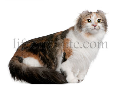 American Curl (2 years old)