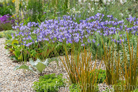 The Drought Tolerant Garden at the RHS Hampton Court Palace Garden Festival 2019. Designers: David Ward and Beth Chatto.  Pla...