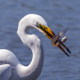 Mjallhegri_-_Great_White_Heron_fishing_-_emm.is-5